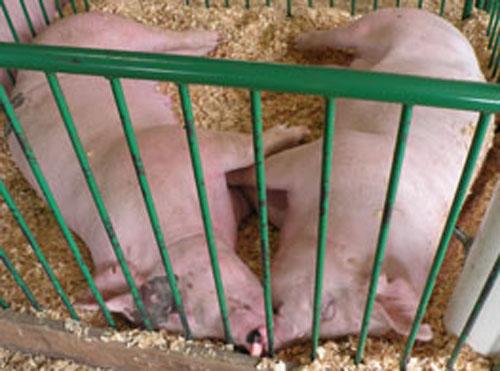 11-Pigs3